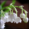 flower white bell
