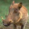 warthog?