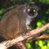 lemur, Sanford