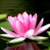 думай о цветке лотоса