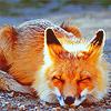 sleepin fox