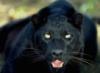 я, пантера, хищник