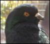 pigeon, pigeoff