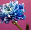 синяя гвоздика на розовом