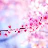 lisianpeia: Sakura