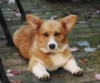 corgigirl: Corgi laying down