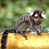 [plot] Animal: Marmoset.