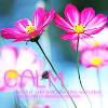 alligator138: Calm pink flowers