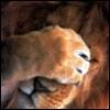 Лев чешет глаза