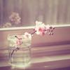 s a b r i n a ⇣ a sprig of a cherry { blossom }