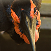 Hornbill angle
