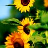 Hope Calaris: Stock - Sonnenblume