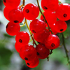 Meathiel_red berries