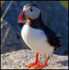 Maz (or foxxy!): Puffin