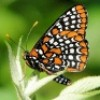 Gillian: Checkerspot