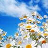 Flowers (Daisies?)