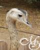 Наивный страус