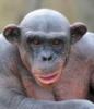 ucmopucm: желчная обезьяна