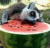 lemur_arbuz