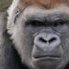 oldbatj: Gorilla is grumpy