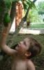 Picking Avocado