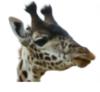 evilgiraFF: giraffe-avatar