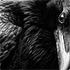Raven's Glare