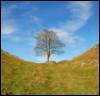 Hadrian's Wall tree