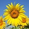 sunflower_22_31 userpic