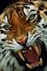 Оскал_тигра