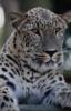jaguar_13