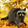 Autumn Raccoon