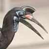 Abyss. Hornbill