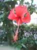 raya merah