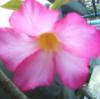 bunga apek