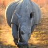 Носорог, rhino, атака