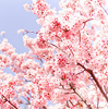 nature: cherry blossoms