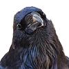 Raven Curious