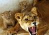 разъяренная львица