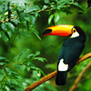 idol_sileri: toucan