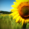 eyestoowide: [stock] sunflower