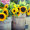 summer: sunflowers by candi