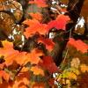 northeto: Autumn leaves