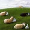 sowa sheep