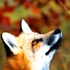 fox look