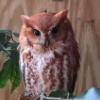 the small hobbit: screech owl