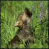 sirs_wolfcub userpic