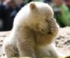 icebear