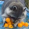 Енот с мандаринами