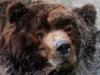 Медведь и брызги шампанского